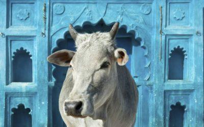 2.26 Schützt die Kühe!